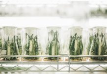 Hemp in lab environment with plants plantet in glas containers
