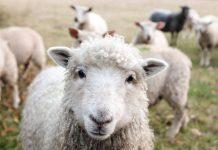 A sheep staring into the camera.