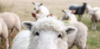 A sheep staring into the camera.